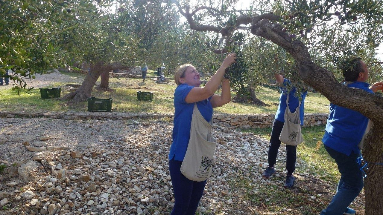 Olive picking contest